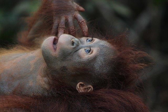 Paket Tour Bukit Lawang Orang Utan Sumatera