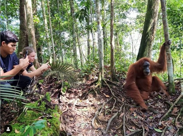 Tracking Orangutan