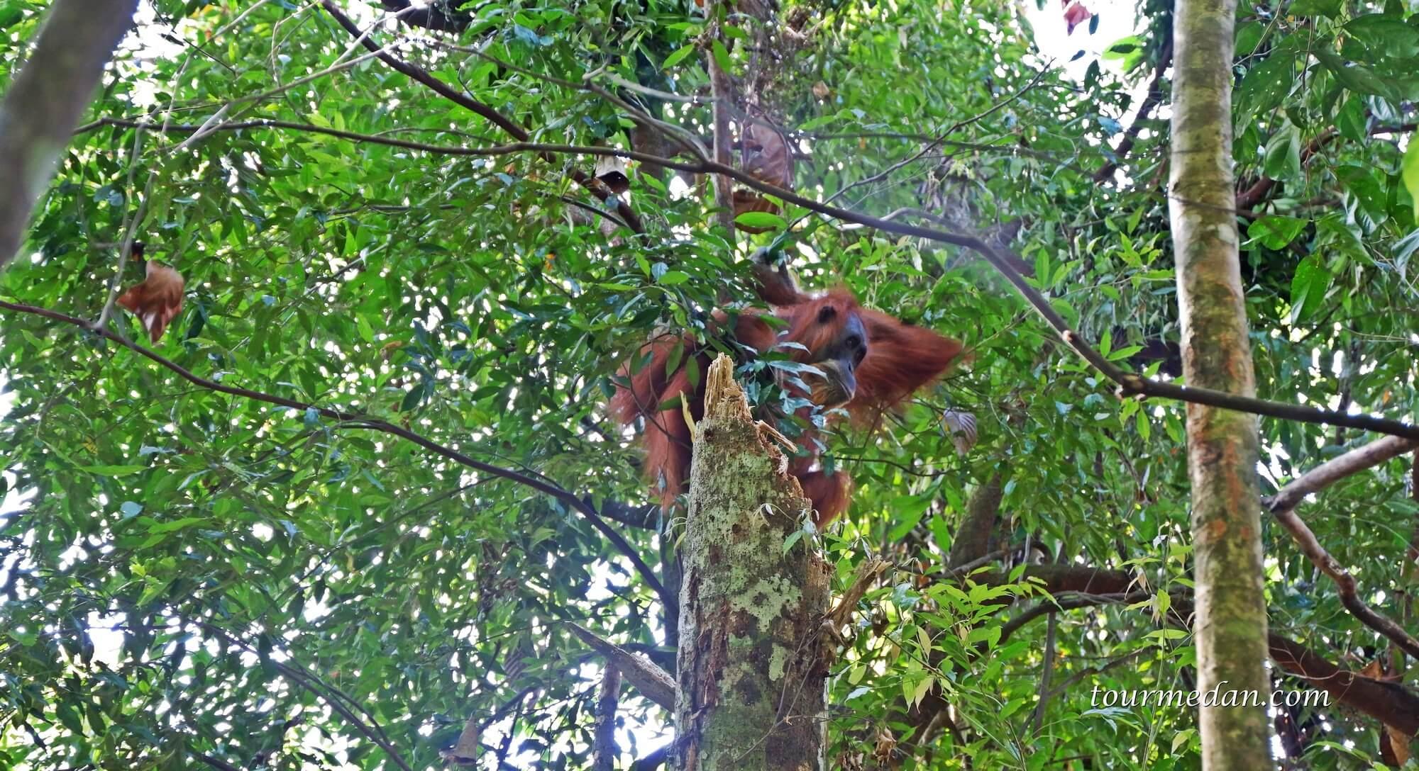 Bukit Lawang Merupakan Konservasi Orangutan di Indonesia
