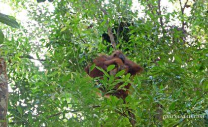Konservasi Orangutan di Indonesia Sumatera